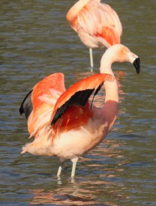flamand rose clères