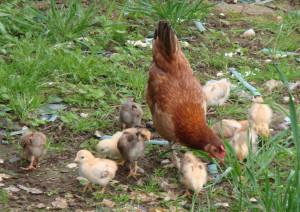 poule-poussins-clos-masure
