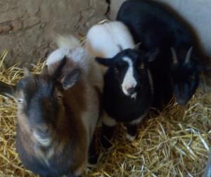 trio chèvres